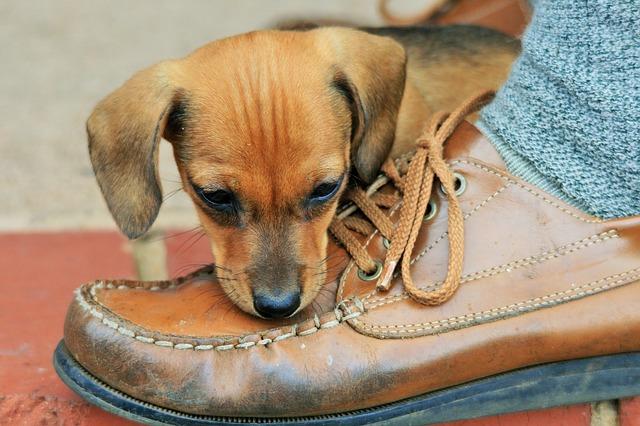 štěně kouše botu